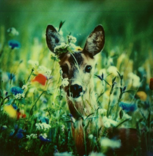 #Roidweek Day 5, Picture 14: Dreamy Deer | by Joep Polaroid Photography