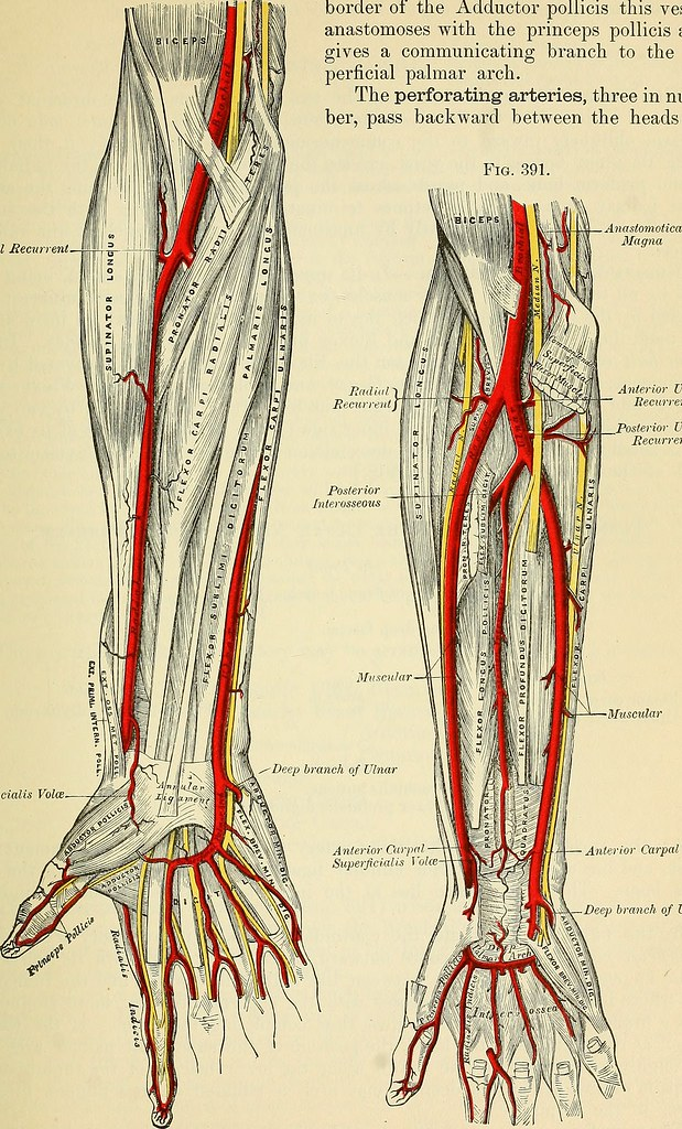 Image From Page 570 Of Anatomy Descriptive And Surgical Flickr