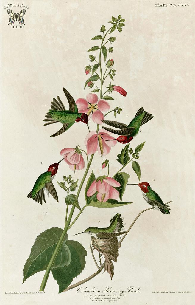 Birds Seashore Mallow, Kosteletzkya Virginica With Annau0027s Hummingbird [as  Columbian Humming Bird]. Birds