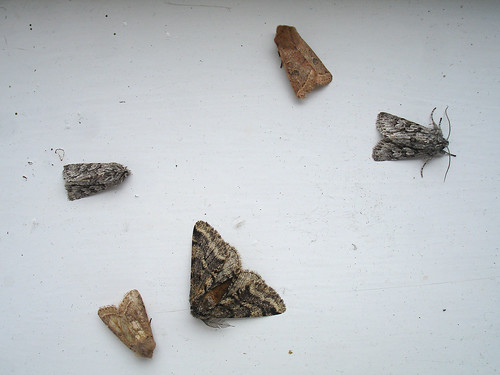 Moths, by Peter Alfrey | by Beddington Farmlands
