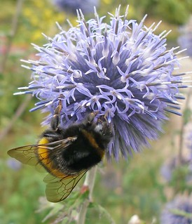 Globe thistle | by Philip Strange