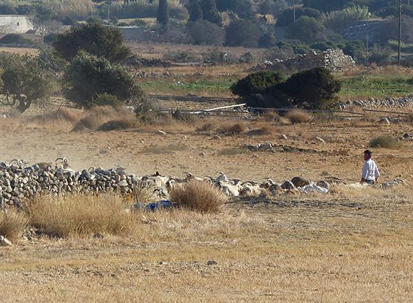 chèvre de la tour bazeou