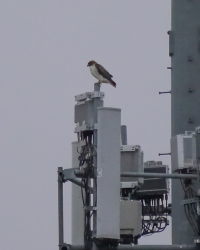 Red-tailed Hawk on cell tower