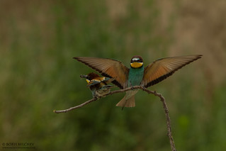 European Bee-eater (Merops apiaster) | by _alcedo_