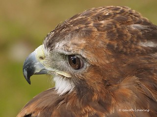 Harris Hawk display 9th Aug 2014 (10) | by Gareth Lovering Photography 5,000,061