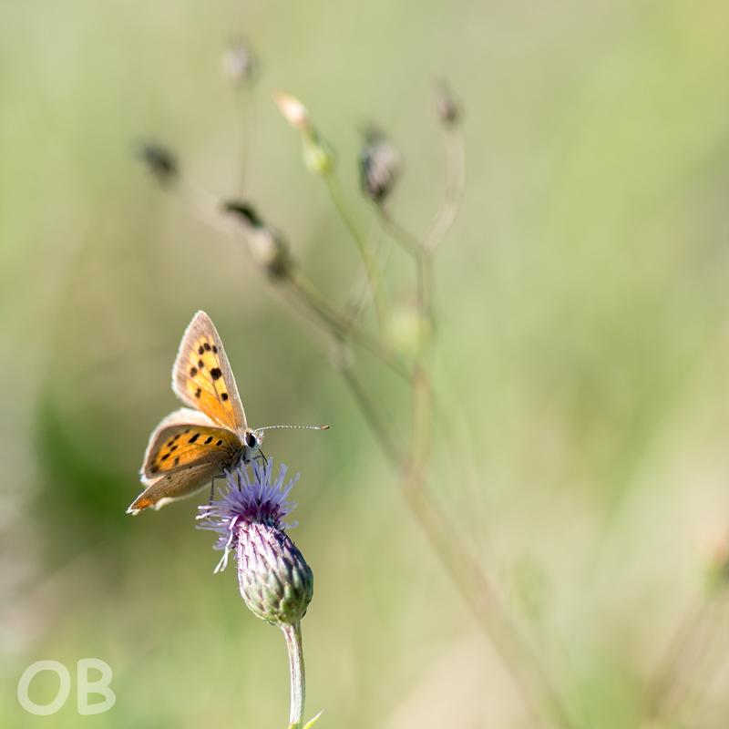b27d2a907 Papillon | Papillon (est-ce un cuivré commun, Lycaena phlaea… | Flickr
