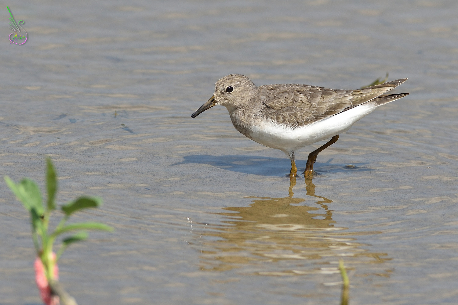 Temminck_Stint_0993
