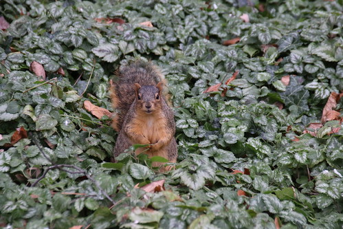 178/365/3100 (December 6, 2016) - Squirrels in Ann Arbor at the University of Michigan (December 6, 2016) | by cseeman
