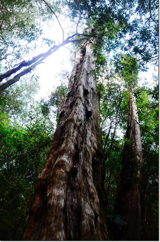 司馬庫斯巨木群巨木 1