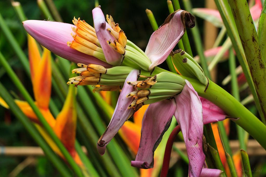 Ornamental Banana Blossom Wildlifeofhawaii Com Flowers 143 Flickr