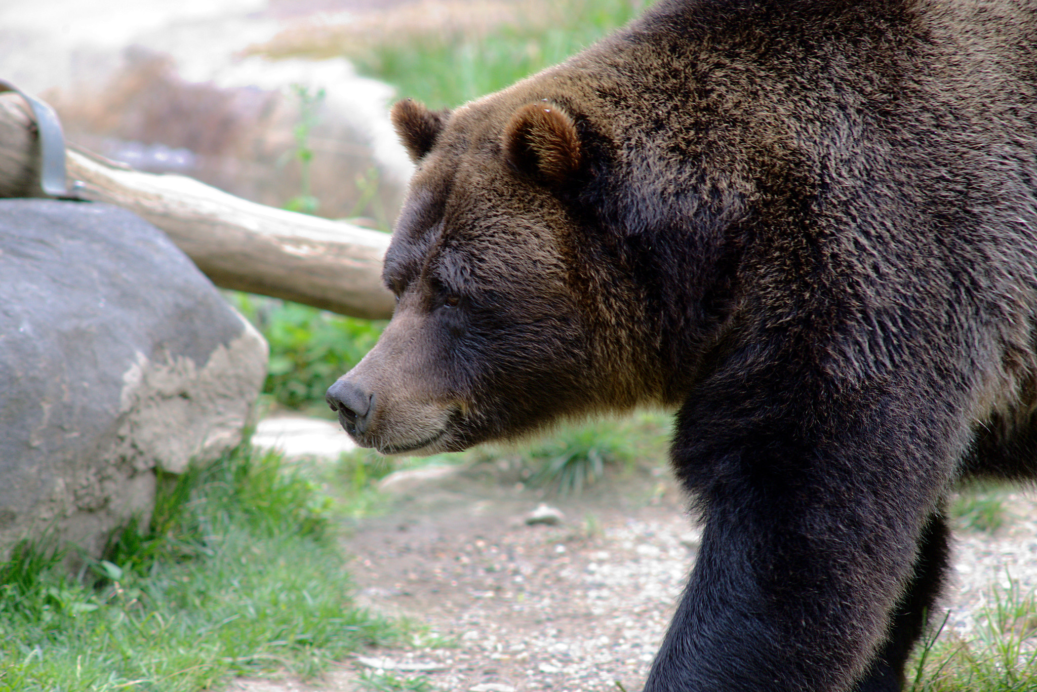 Grizzly Bear @ Bronx Zoo