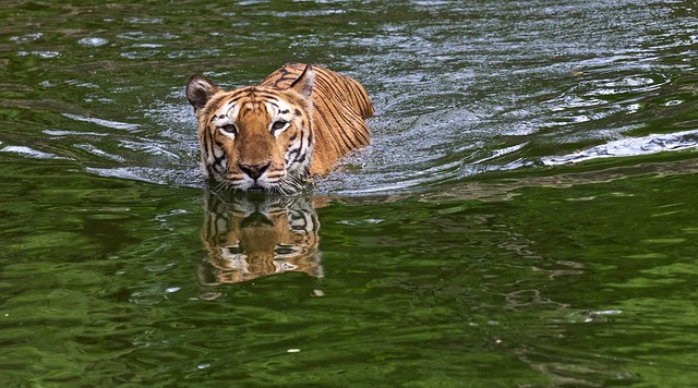 Tiger takes a swim after breakfast