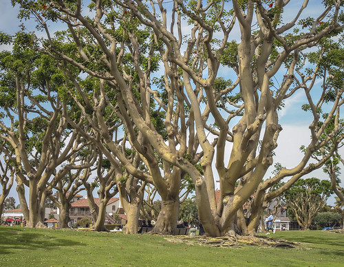 Coral Trees Seaport Village In San Diego Coral Trees