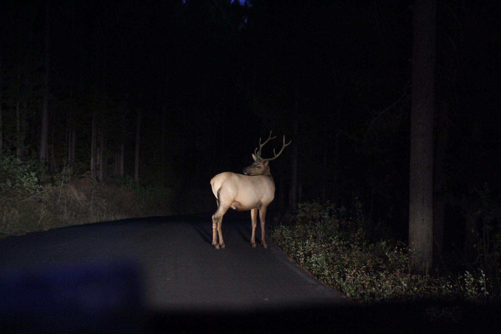 elk in headlights signal mtn IMG_0123