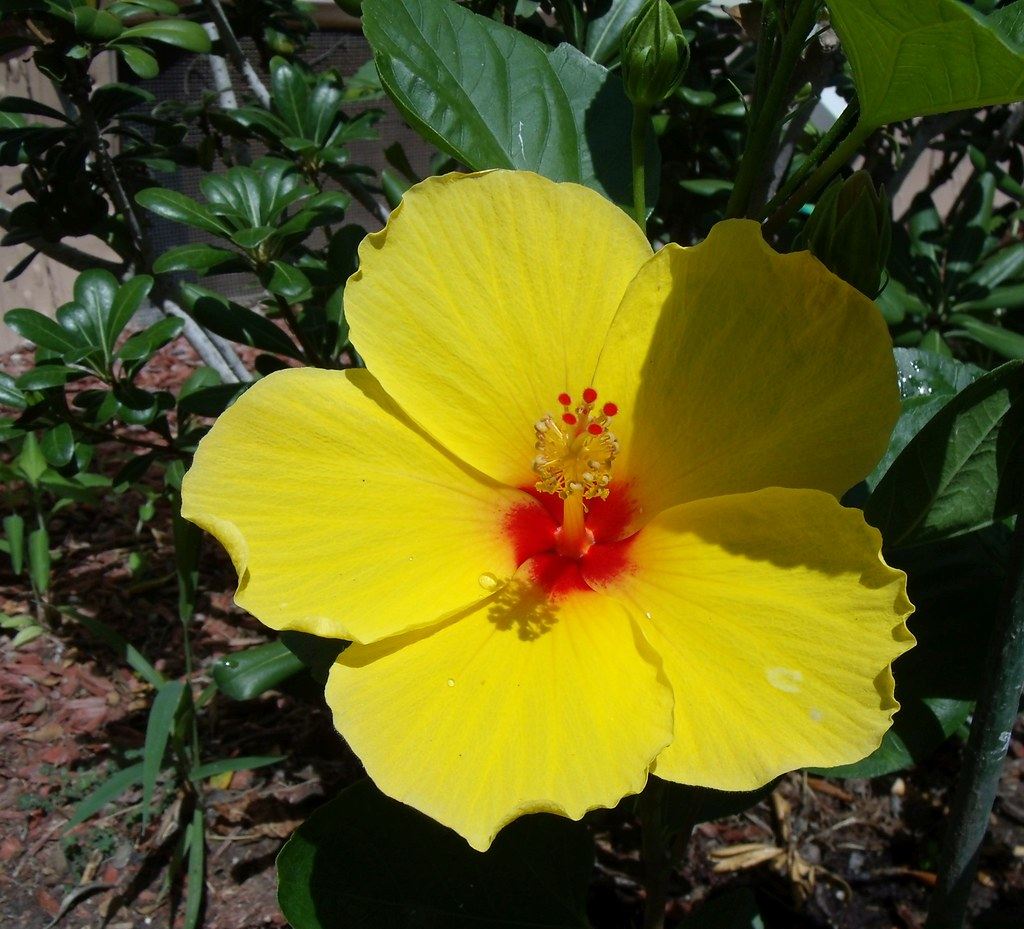 Single Yellow Hibiscus Flower With A Red Center Gedsc Digi
