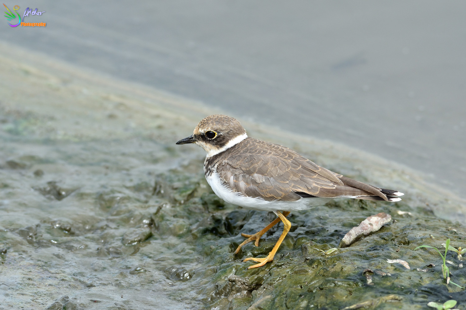 Little_Ringed_Plover_3181