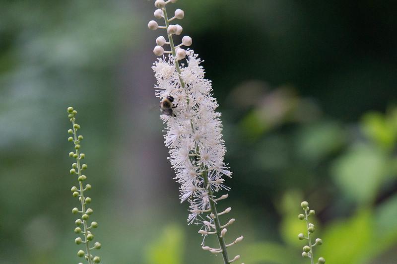 07800 Bumblebee on Black Cohosh