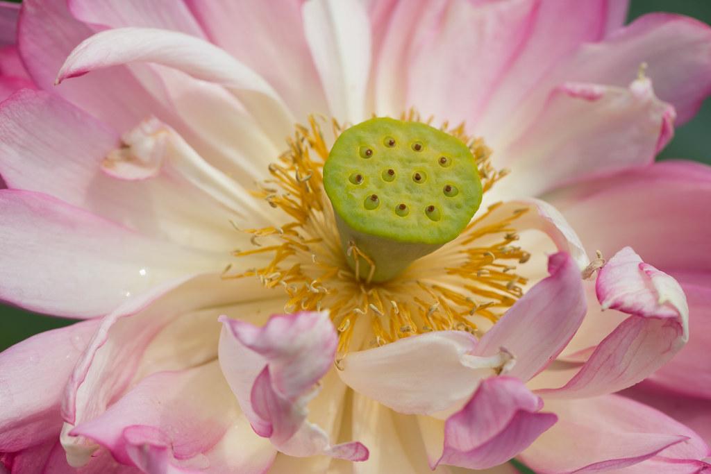 Anatomy of a lotus flower the flat yellowish green top in flickr anatomy of a lotus flower by ben ah mightylinksfo