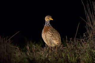 Plains Wanderer (again) | by Julian Teh