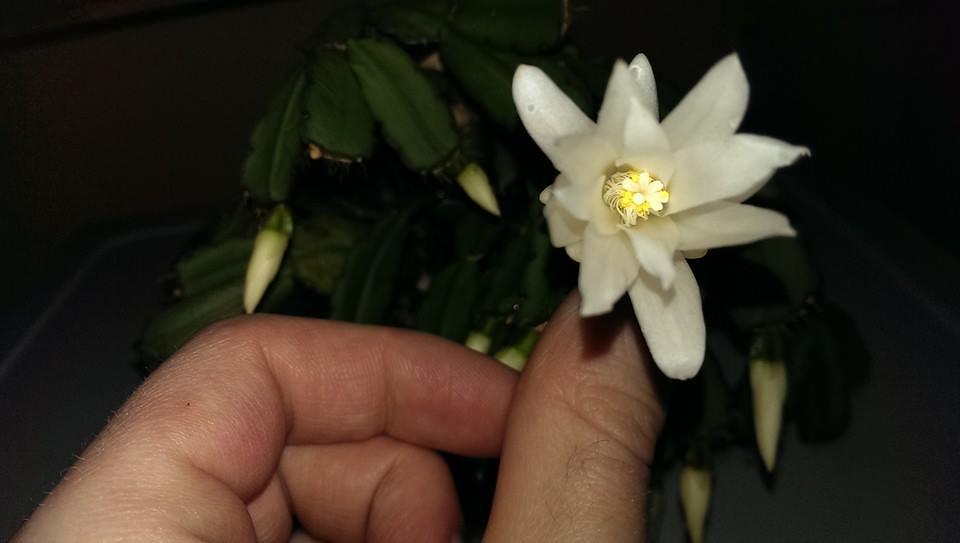 White flowered easter cactus hatiora gaertneri spring c flickr white flowered easter cactus hatiora gaertneri spring cactus by dan aurora x mightylinksfo