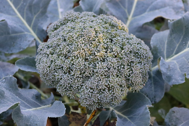 large broccoli head