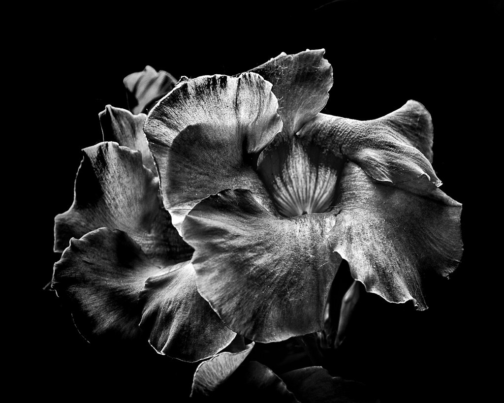 Backyard Flowers In Black And White 2 A Series Of Black An Flickr