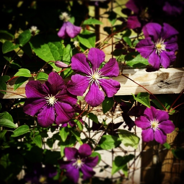everybody needs beauty...places to play in and pray in where nature may heal and cheer and give strength to the body and soul alike. -- john muir #clematis #purple #flower #trellis #garden #summer #qotd #silversprings #yyc