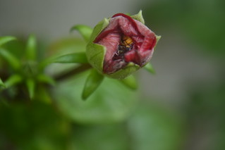 Outdoor #3: Gumamela Bud (Magnified) | by Jonnahdelacruz