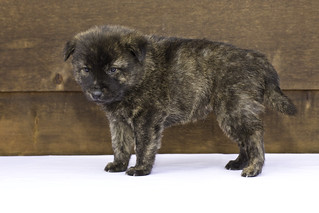 Nori-Litter2-30Days-Puppy1(male)d | by brada1878