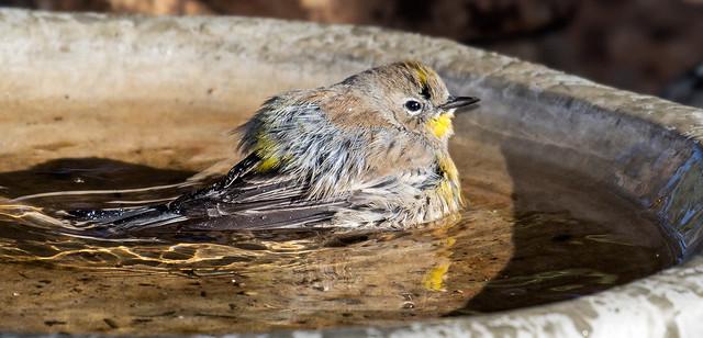 Yellow-rumped-Warbler-9a-7D2-092516