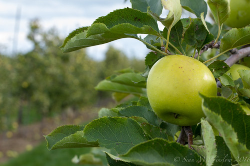 Apples, Fall 2016, Milton, Ontario | by larkvi