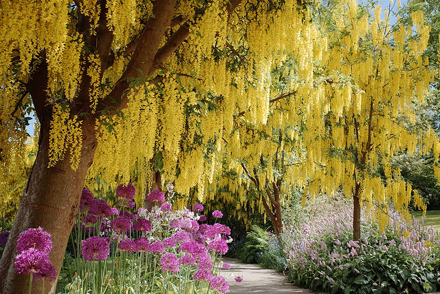 Laburnum Walk @ VanDusen Botanical Garden