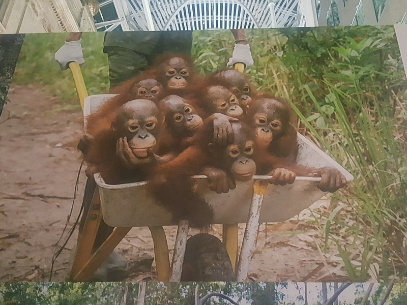 World Press Photo 2016 orangutan babies
