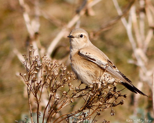 Desert Wheatear-8791