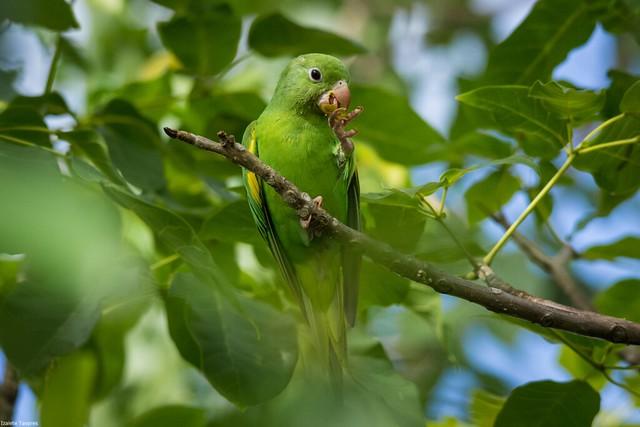 periquito-de-encontro-amarelo (Brotogeris chiriri)