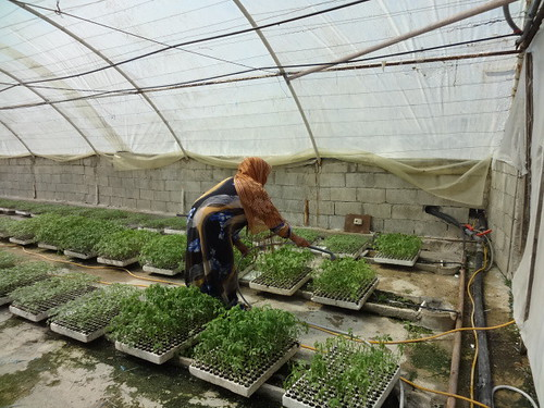 A farmer maintains her crops in the greenhouse granted by UNDP in Tartous 3 | by undp.syria