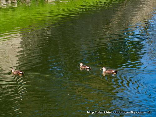 Ducks #02