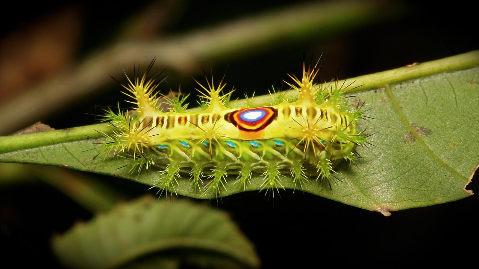 limacodid slug caterpillars cup moths limacodidae flickr