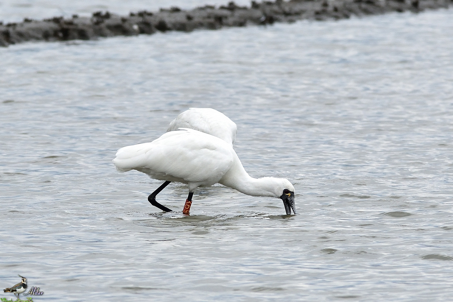 Black-faced_Spoonbill_5102
