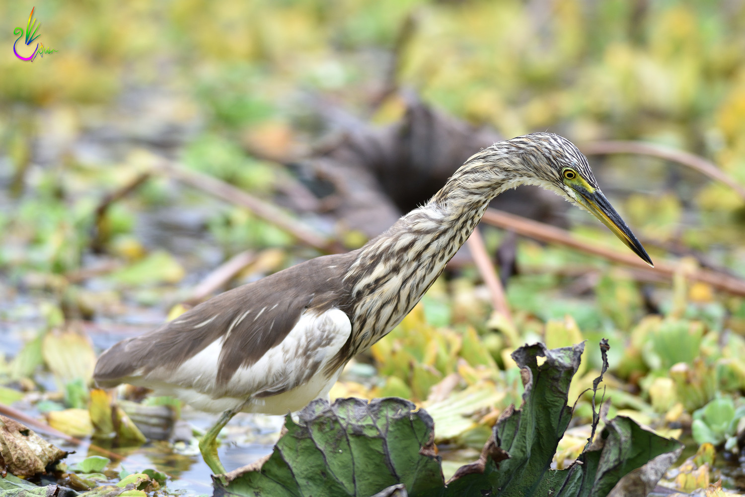 Chinese_Pond_Heron_3307