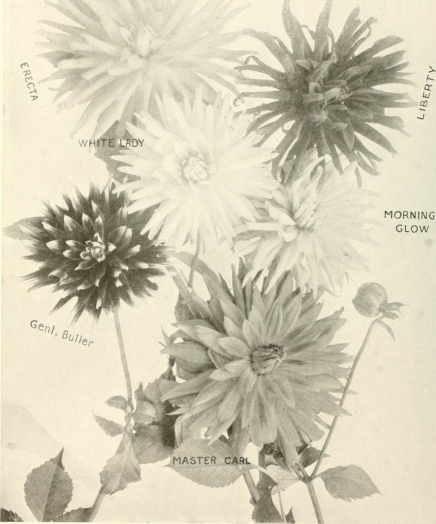 Image From Page 51 Of The Dahlia A Practical Treatise On Flickr