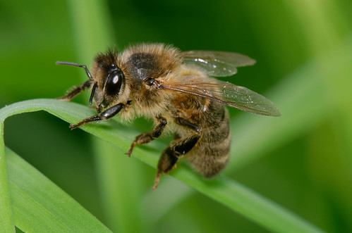 D298814 Honey Bee | by Nick Sidle