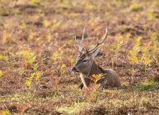 fallow deer 068__598