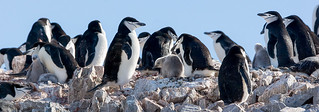 Chinstrap Penguin (Pygoscelis antarctica) | by David Cook Wildlife Photography