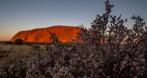 desert heath at uluru | by robynejay