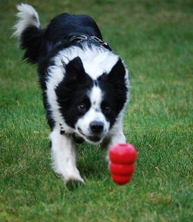 Border collie | by Oregon State University