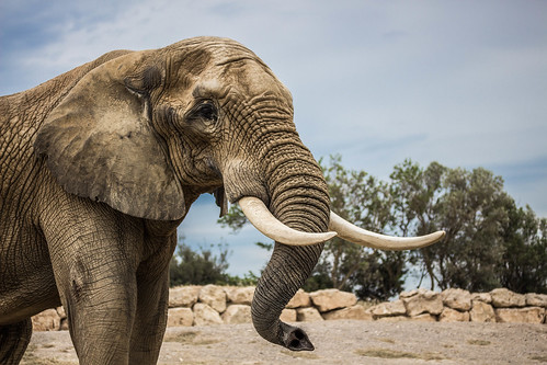 Elephant | by Pauline Guilmot