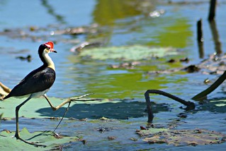 Crown Crested Jacana Running | by Vickyeastwood