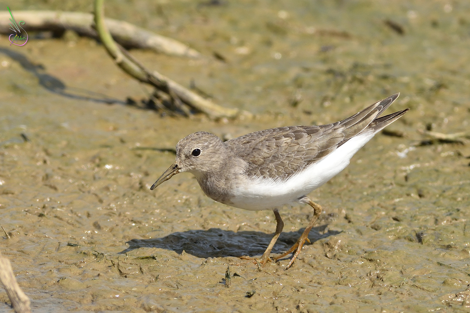 Temminck_Stint_0879