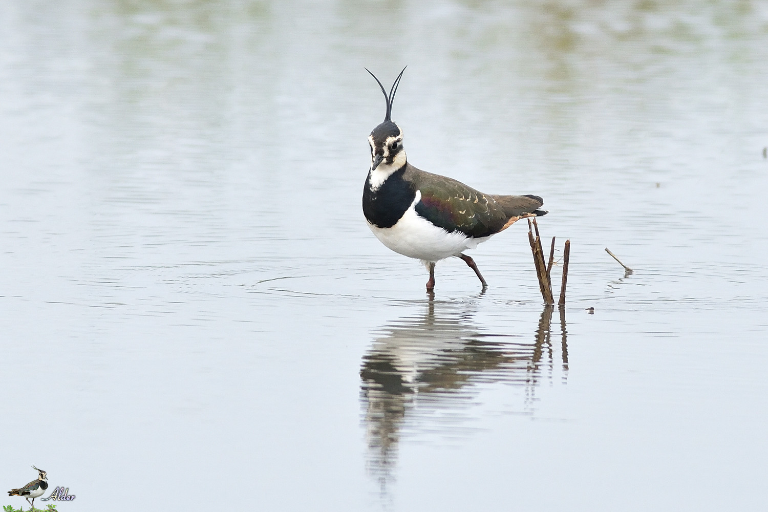 Northern_Lapwing_4701